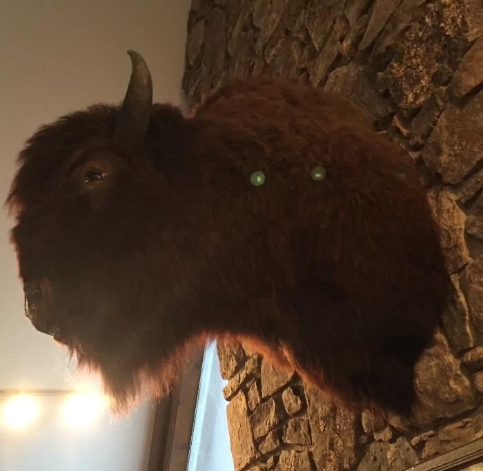 Authentic taxidermy native American buffalo head.   It's HUGE!
