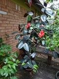 large rubber tree