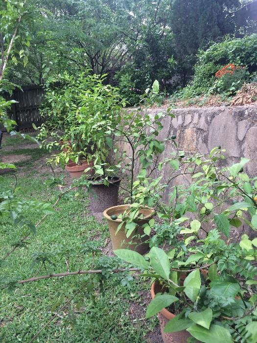 Potted fruit trees
