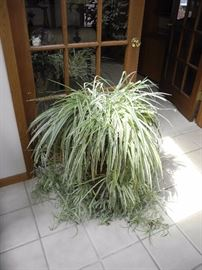 The most beautiful spider plant I have seen!