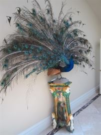 Full sized real peacock