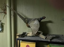 Taxidermy Pheasant and additional feathers