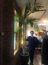 palm tree, 11 ft tall