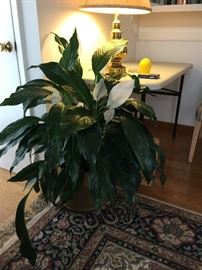 Huge peace Lilly 30.00