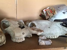 Wild horse skullS