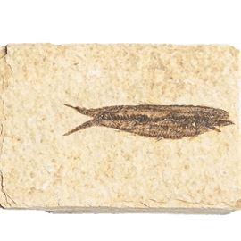 Single Fish Fossil: A single fish fossil. The fossil features a single fish fossilized in stone. The stone is beige in color and the fish is a dark brown.