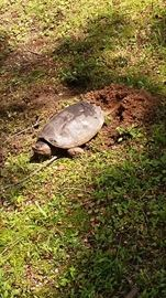 A snapping turtle laying eggs  (again, please wear appropriate shoes) :-)