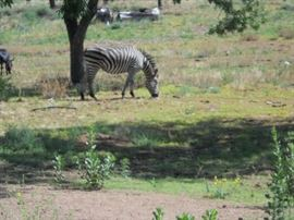 when you come to visit you asre welcomed by neighbors ZEBRAs