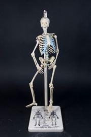 Lot 23: Plaster Skeleton Model from John Hopkins Univ.