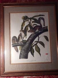 Artist: Post-John James Audubon-J.T. Brown 1843, Carolina Grey Squirrel, Lithograph