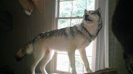 Full Body Grey wolf mount