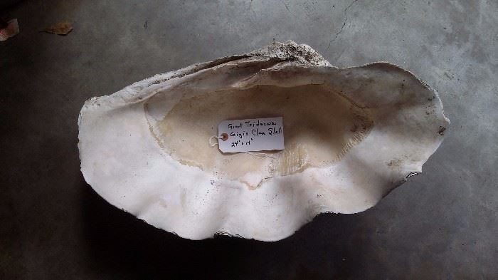 HUGE CLAM SHELL