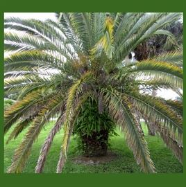 Large Mature Palm is For Sale