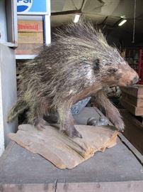Vintage Porcupine taxidermy