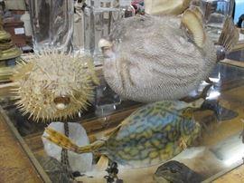 Vintage Puffer-fish taxidermy