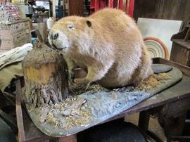 Large 65 lb (original weight) beaver taxidermy