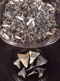 A large collection of shark teeth