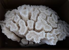 Reef White Coral