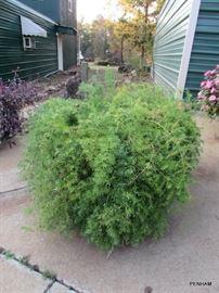 Asparagus Ferns...super large, excellent condition!