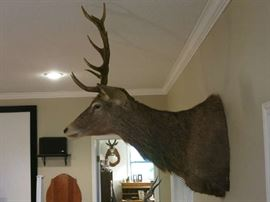 This is a large Red Stag in great condition!