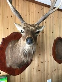 I'm not sure what kind of deer this is but he reminds me of a wise Rudolph!