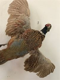 Taxidermy Ringneck Pheasant