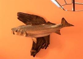 Mounted Sea Bass - real skin