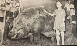 Worlds largest hog