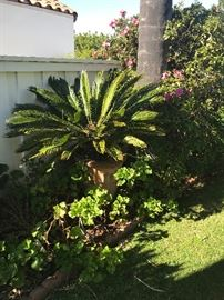 Another Sago Palm