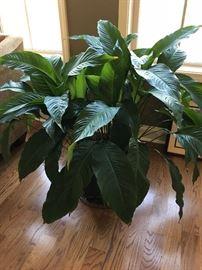 Plant (2).