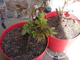 pots w/roses