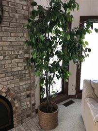 FICUS SILK TREE
