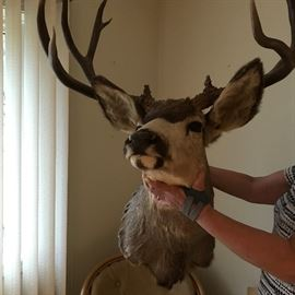 Mule Deer Head has beautiful Sad Eyes.   He needs to go home with you.