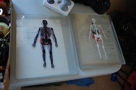 vintage glass skeleton slides for anatomy, would be nice framed