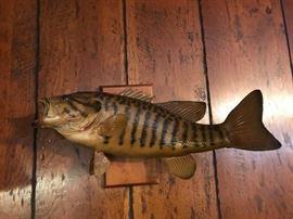 "#13 Striped Bass w/hook in mouth 18"" Long $65.00"
