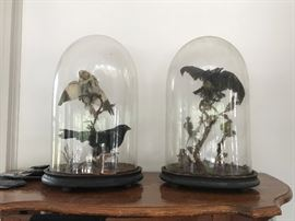 Antique English Victorian Taxidermy birds under dome
