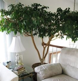 35 YEAR OLD FICUS TREE   BUY IT NOW  $ 250.00