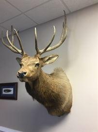 Large Moose head