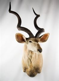 African Greater Kudu Taxidermy Shoulder Mount