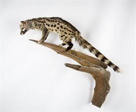 African Genet Cat Full-Body Taxidermy Mount