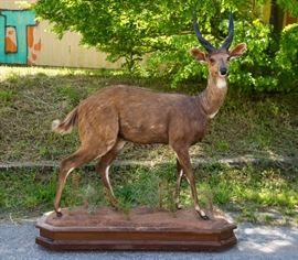 African Bushbuck Full-Body Taxidermy Mount