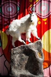 North American Rocky Mountain Goat Full-Body Taxidermy Mount