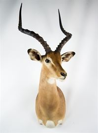 African Impala Taxidermy Shoulder Mount