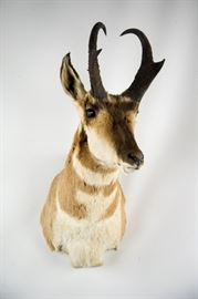 North American Pronghorn Antelope Taxidermy Shoulder Mount