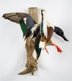 Northern Shoveler Duck Full-Body Taxidermy Mount