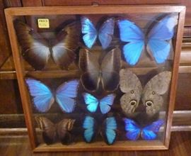 "Framed shadowbox of butterflies, frame is 15"" L X  15"" W"