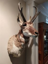 "One of four taxidermies of African wildlife, this one a prong horn antelope shoulder mount; overall size 34""h x 12""w x 18""d."