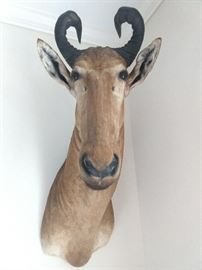 "Red hartebeest shoulder mount; overall size 46""h x 20""w x 27""d."