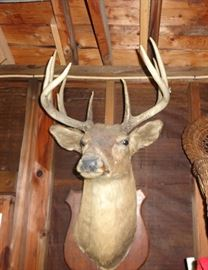 Deer head - ten point, shoulder mount