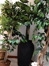 A Large Selection of Large Silk Trees!...